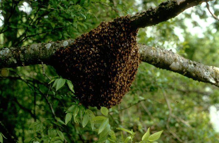 sarang lebah, madu liar